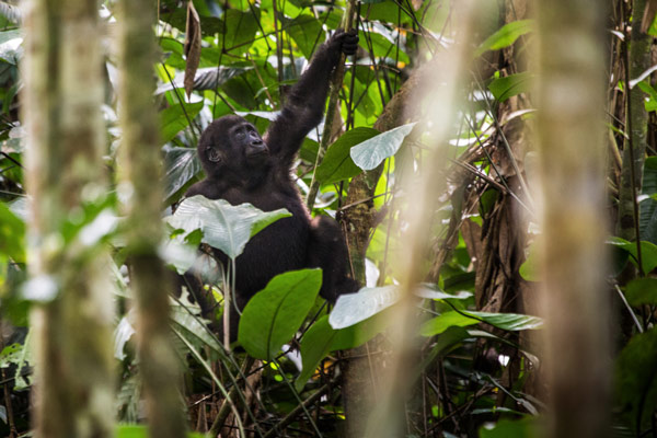 2015-odzala-gorilla-tracking-gallery1