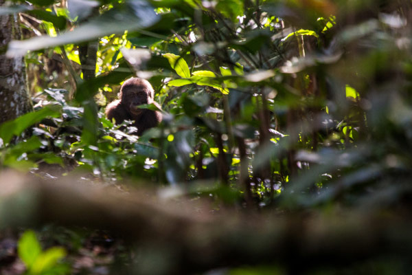 2015-odzala-gorilla-tracking-gallery2