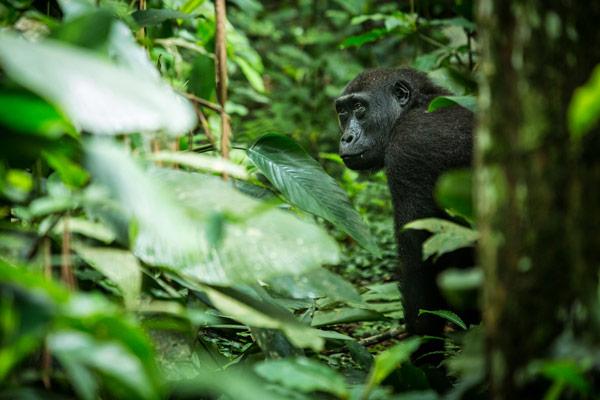 2015-odzala-gorilla-tracking-gallery3