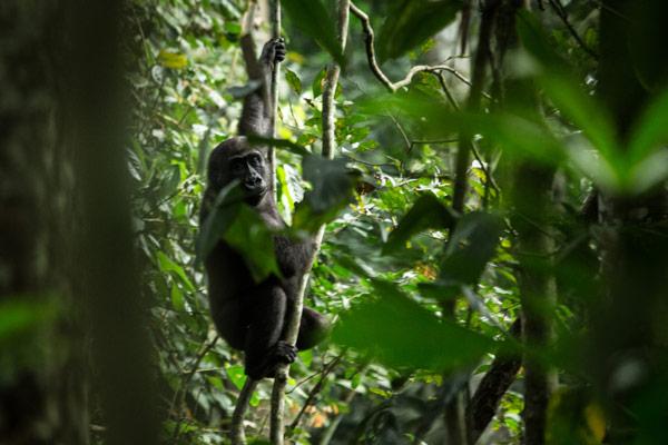 2015-odzala-gorilla-tracking-gallery4