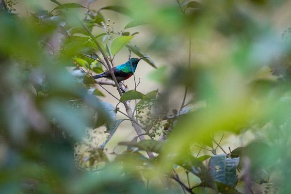 Superb Sunbird