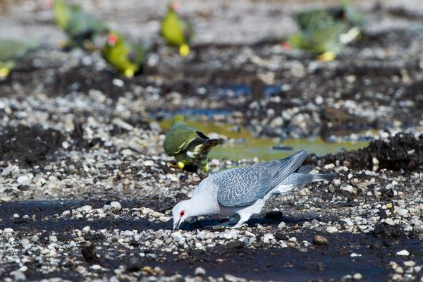 Afep Pigeon