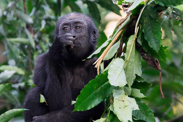 odzala-2015-gorilla-gallery-11