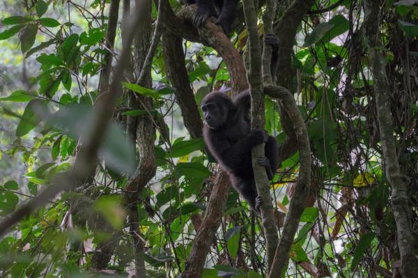 odzala-2015-gorilla-gallery-12