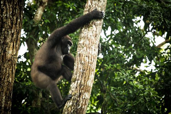 odzala-2015-gorilla-gallery-23