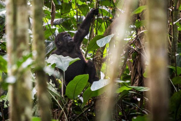 odzala-2015-gorilla-gallery-24