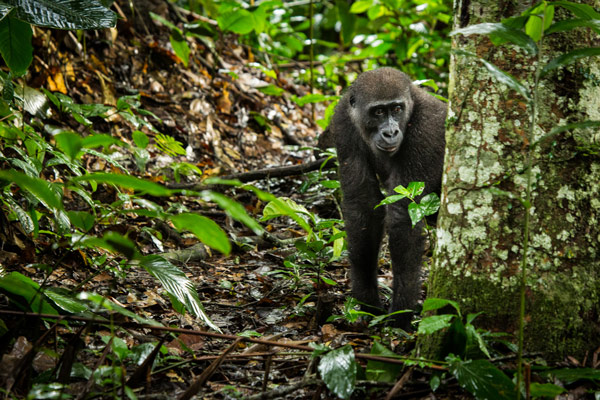 odzala-2015-gorilla-gallery-26