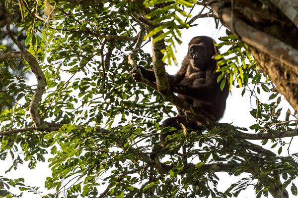 odzala-2015-gorilla-gallery-4