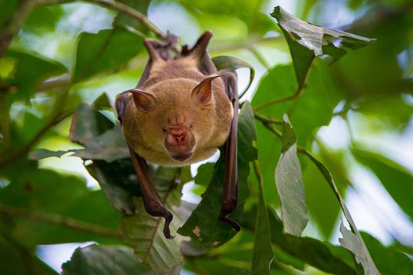 Noack's Roundleaf Bat