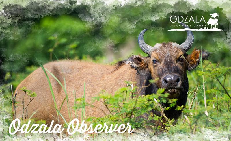 Odzala Observer – Newsletter Issue 12 – Part 2