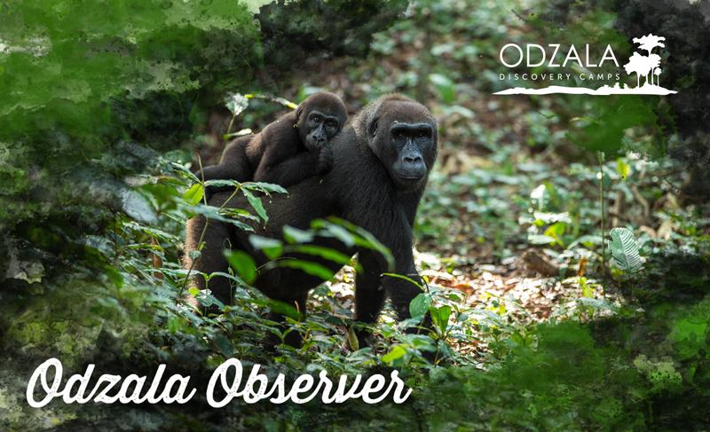 Odzala Observer – Newsletter Issue 13 – Part 1