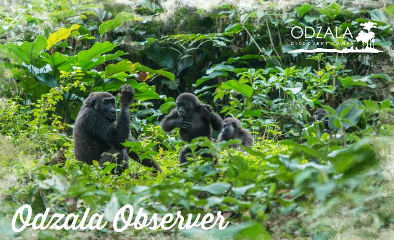 Odzala Observer – Newsletter Issue 14 – Part 3