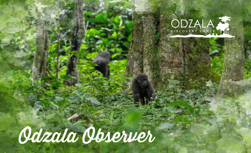 Odzala Observer – Newsletter Issue 16 – Part 1