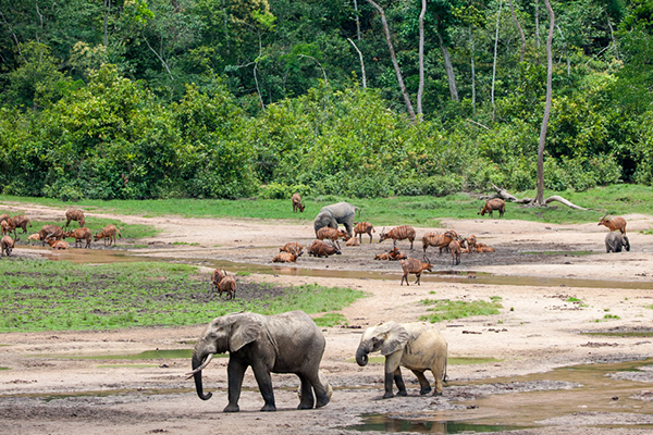 Congo Basin travel - Central African Republic and Odzala